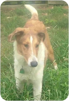 Collie Puppy for adoption in Baldwin, New York - Tater