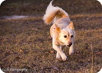 Pomeranian/Corgi Mix Dog for adoption in Warner Robins, Georgia - Eleanor