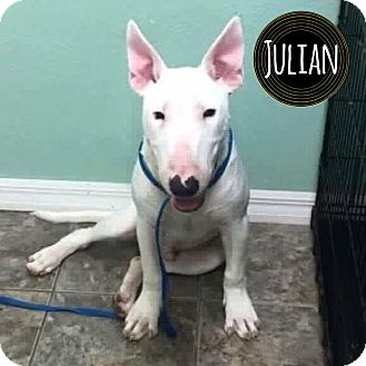Bull Terrier Puppy for adoption in Lake Worth, Florida - Julian