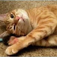 Domestic Shorthair Cat for adoption in Jenkintown, Pennsylvania - Columbus