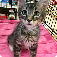Adopt A Pet :: Jojo - Gilbert, AZ