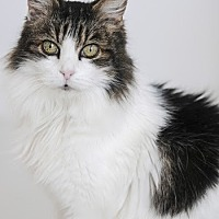 Domestic Mediumhair Cat for adoption in San Francisco, California - Aubrey