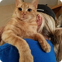 Domestic Shorthair Cat for adoption in canyon lake, Texas - Bobby