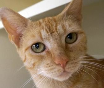 Domestic Shorthair/Domestic Shorthair Mix Cat for adoption in Verona, Wisconsin - Ms. Marigold