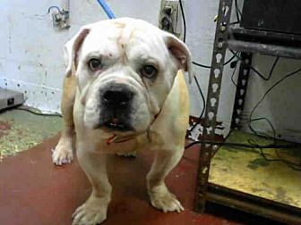 English Bulldog Dog for adoption in Atlanta, Georgia - BOB
