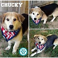 Adopt A Pet :: Chucky - Kimberton, PA