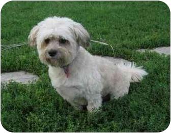 Lhasa Apso/Bichon Frise Mix Dog for adoption in Ile-Perrot, Quebec - Leon