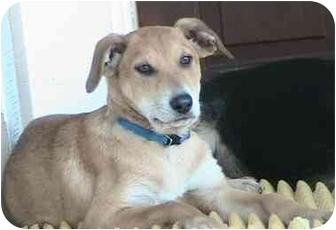 Labrador Retriever/German Shepherd Dog Mix Puppy for adoption in Poway, California - Ginger