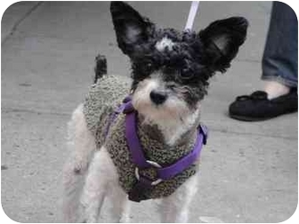 Poodle (Standard)/Yorkie, Yorkshire Terrier Mix Dog for adoption in Long Beach, New York - Riley