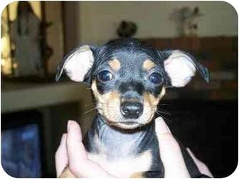 Miniature Pinscher Puppy for adoption in Mesa, Arizona - Min Pin- Dottie