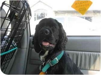 Cocker Spaniel Mix Dog for adoption in Mentor, Ohio - Jackson 3yr Adopted