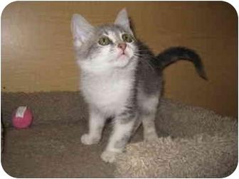 Domestic Shorthair Kitten for adoption in Irvine, California - Ushki