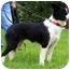 Photo 1 - Border Collie Dog for adoption in Bellevue, Nebraska - Fiona