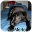 Photo 3 - Border Collie/Labrador Retriever Mix Puppy for adoption in Slidell, Louisiana - Morton