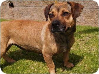 Dachshund/Corgi Mix Dog for adoption in El Cajon, California - Chiquita