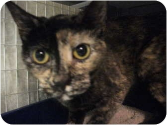 Domestic Shorthair Cat for adoption in Edwardsville, Illinois - Callie