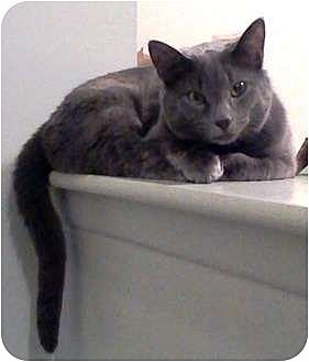 Russian Blue Cat for adoption in Saint Clair Shores, Michigan - Mandy