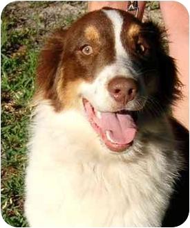 Australian Shepherd Dog for adoption in Orlando, Florida - Ben