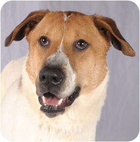 Hound (Unknown Type)/Shepherd (Unknown Type) Mix Dog for adoption in Chicago, Illinois - Hunter