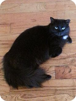 Domestic Longhair Cat for adoption in Atlanta, Georgia - Bella