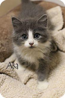Domestic Longhair Kitten for adoption in Chester, Maryland - Asa