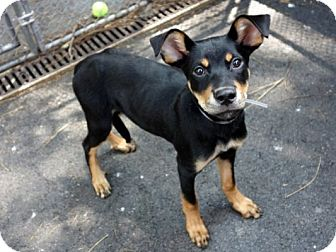 Hound (Unknown Type)/Miniature Pinscher Mix Puppy for adoption in Long Beach, New York - Rolo