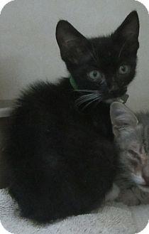 Domestic Shorthair Kitten for adoption in Westminster, California - Dora