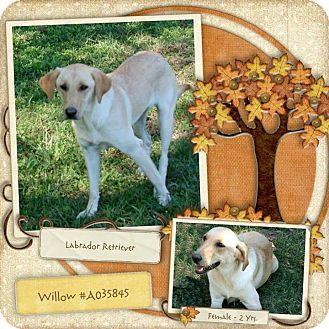 Labrador Retriever Mix Dog for adoption in Lufkin, Texas - Willow