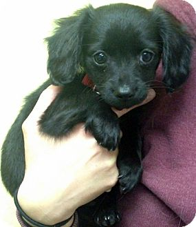 Dachshund/Spaniel (Unknown Type) Mix Puppy for adoption in Los Angeles, California - Winona *VIDEO*
