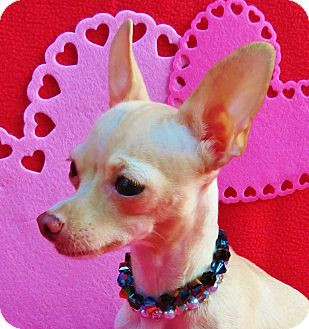 Chihuahua Dog for adoption in Irvine, California - Sweet Pea - 4 pounds