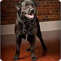 Adopt A Pet :: Bear - Owensboro, KY
