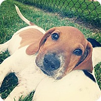Adopt A Pet :: Ollie - Roseville, MI