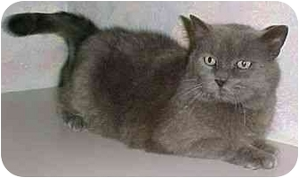 Domestic Shorthair Cat for adoption in North Judson, Indiana - Brandy
