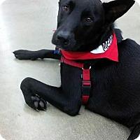 Adopt A Pet :: Bandit - New Boston, NH