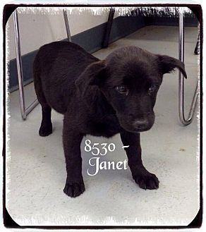 Labrador Retriever/Terrier (Unknown Type, Medium) Mix Dog for adoption in Dillon, South Carolina - Janet