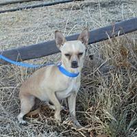 Adopt A Pet :: Callie - Vacaville, CA
