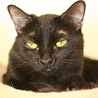 Domestic Shorthair Cat for adoption in Canoga Park, California - Maggie May
