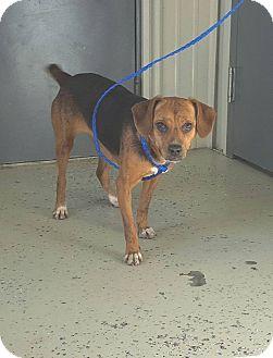 Beagle Mix Dog for adoption in Greenville, Kentucky - Julie
