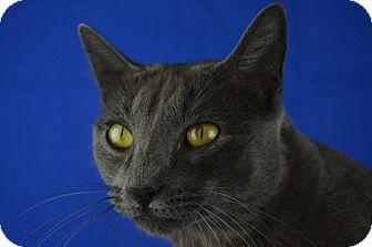 Russian Blue Cat for adoption in LAFAYETTE, Louisiana - Kamryn
