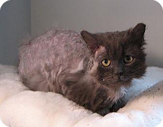 Domestic Mediumhair Cat for adoption in Wakefield, Massachusetts - Shar-Pei