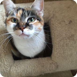 Domestic Shorthair Cat for adoption in Glen Mills, Pennsylvania - Sugar Baby