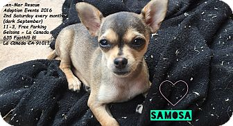 Terrier (Unknown Type, Small)/Chihuahua Mix Puppy for adoption in Los Angeles, California - Samosa