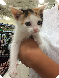 Calico Kitten for adoption in Tracy, California - Halfers-ADOPTED!