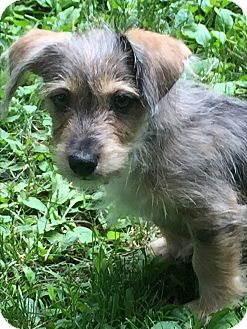 Terrier (Unknown Type, Small) Mix Puppy for adoption in New York, New York - Squirrel (Zar)