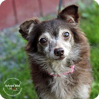 Chihuahua Mix Dog for adoption in Lyons, New York - Lucy
