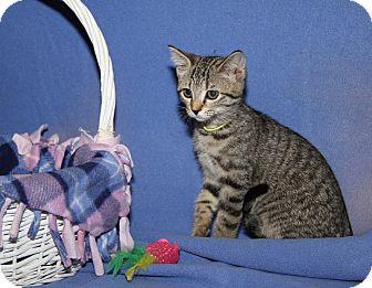 Domestic Shorthair Cat for adoption in Marietta, Ohio - Raisin (Spayed)