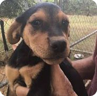 Rottweiler Mix Puppy for adoption in Patterson, New York - Clara
