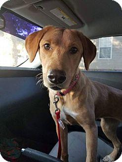 Labrador Retriever Mix Dog for adoption in East Hartford, Connecticut - addy-pending adoption