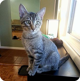 Domestic Shorthair Kitten for adoption in Lombard, Illinois - Kevin
