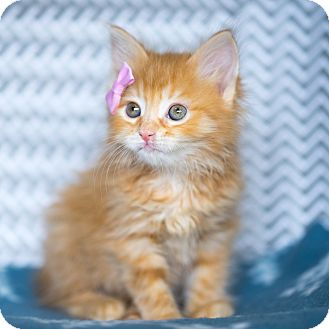 Domestic Longhair Kitten for adoption in Montclair, California - PENELOPE